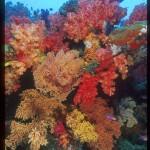 fiji soft corals, soft corals