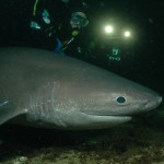 six gill shark, diver with shark