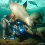 sealion puppy pile, diver with sealions