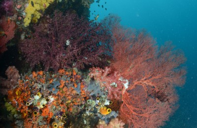 diver and soft corals, raja ampat