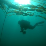 diver in kelp, diver with bull kelp