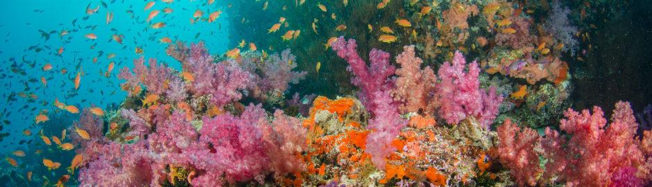 fiji underwater. softcorals,antias in sun light