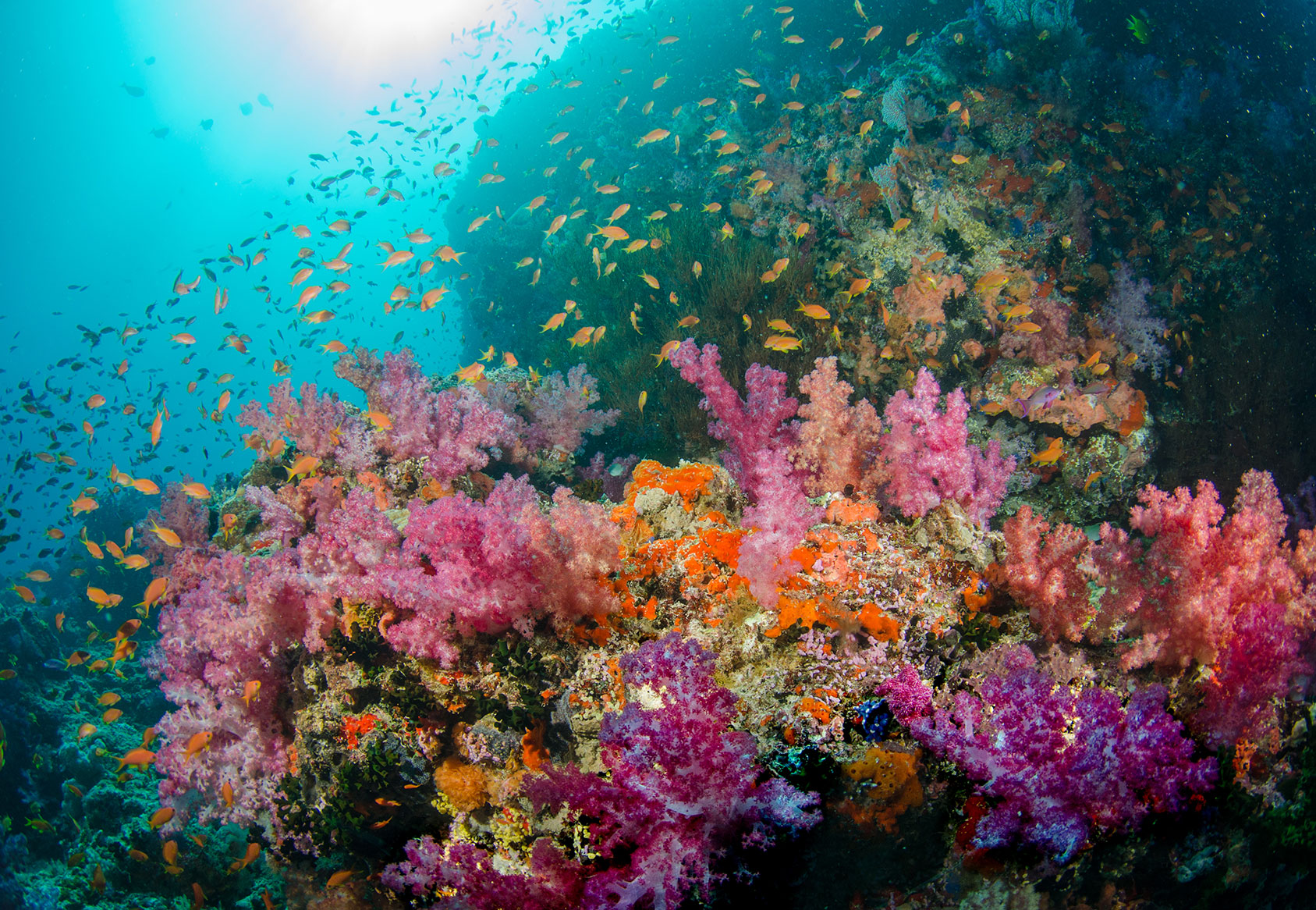 fiji underwater. softcorals,antias in sun light