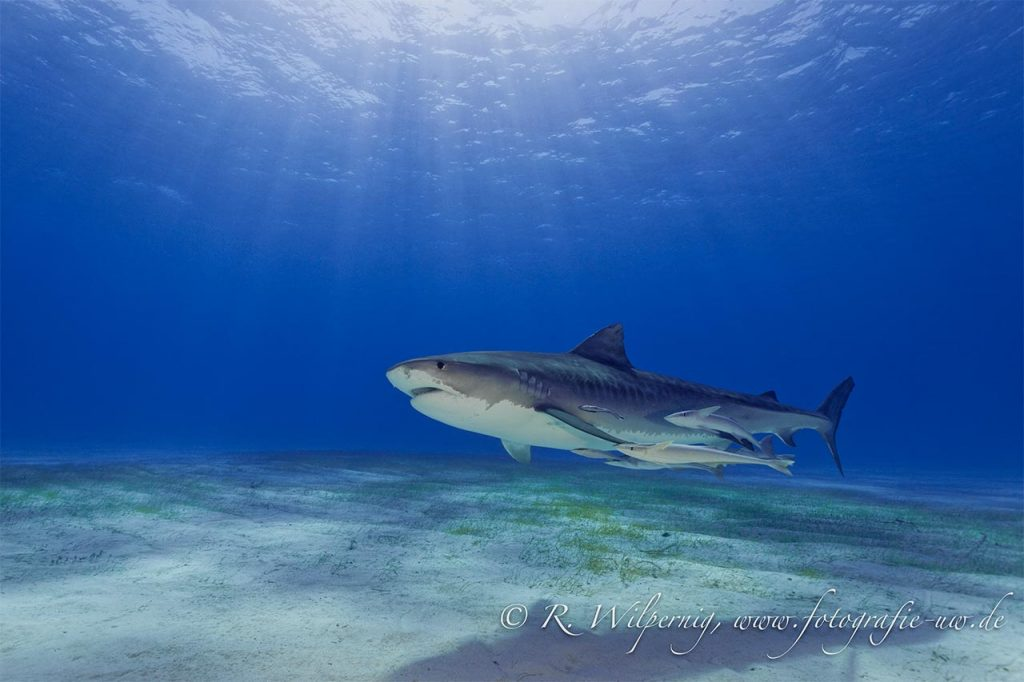 Tiger Shark and Sunshine