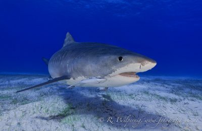 Tiger Shark over sand