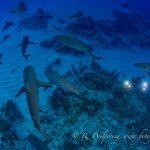 schooling sharks
