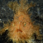 Hairy Frogfish